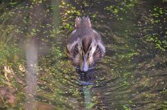 Patinho crescido na lagoa Imagens de Stock Royalty Free