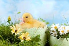 Patinho de Easter chamada Fotografia de Stock Royalty Free