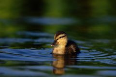 Patinho do pato selvagem na água azul foto de stock royalty free
