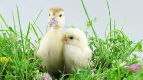 Patinho e galinha que sentam-se na grama verde com flores video estoque