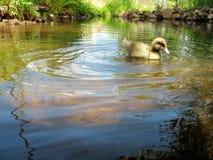 Patinho em uma lagoa Fotos de Stock Royalty Free