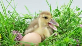 Patinho pequeno que senta-se perto do ovo na grama verde com flores video estoque