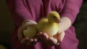 Patinho recém-nascido da posse fêmea e ovo vazio quebrado nas palmas vídeos de arquivo
