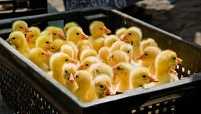 Patinhos amarelos na caixa negra Imagens de Stock Royalty Free