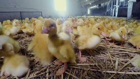 Patinhos amarelos pequenos bonitos na exploração avícola video estoque