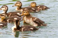 Patinhos brincalhão do pato selvagem da natação Fotos de Stock