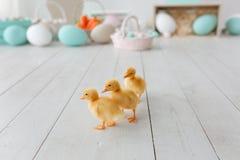 Patinhos da Páscoa isolados no assoalho de madeira branco Blurred pintou ovos no fundo Imagens de Stock Royalty Free
