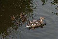 Patinhos depois da mãe no conceito da água Imagens de Stock