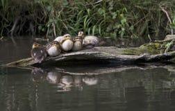 Patinhos do pato selvagem Fotos de Stock Royalty Free