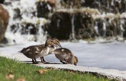 Patinhos do pato selvagem Fotografia de Stock Royalty Free