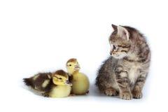 Patinhos e gatinho. Foto de Stock Royalty Free