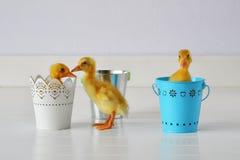Patinhos em uns baldes Fotos de Stock Royalty Free