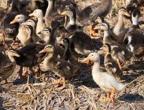 Patinhos na exploração agrícola do pato Fotos de Stock