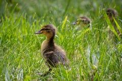 Patinhos na grama Fotografia de Stock Royalty Free