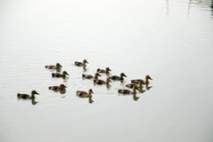 Patinhos no rio Imagem de Stock