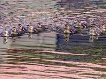 Patinhos para fora para uma nadada Fotografia de Stock