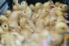 Patinhos pequenos Pato de muitas crianças na exploração avícola imagens de stock royalty free
