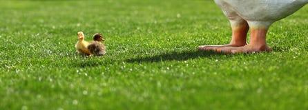 Patinhos pequenos que jogam na grama Imagens de Stock Royalty Free