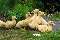 Patinhos que alimentam fora Fotos de Stock Royalty Free