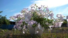 patio acogedor con las flores Floraciones púrpuras de la petunia en el jardín del verano Primer Negocio de la flor Flores hermosa