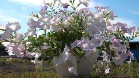 patio acogedor con las flores Floraciones p?rpuras de la petunia en el jard?n del verano Primer Negocio de la flor Flores hermosa