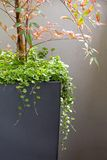 Patio container. Dichondra and Nandina in a grey container Stock Photos