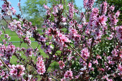Patio-Pfirsichblüte Stockfotos