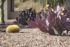 Patio trasero del desierto con el cactus púrpura con las flores y la cerca imagenes de archivo