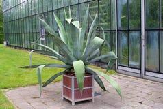 Patio z agawy rośliną w ogródzie botanicznym Obrazy Royalty Free