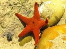 Patiria granifera - Czerwona rozgwiazda Obrazy Royalty Free