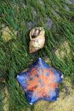 Patiriapectinifera en klein tweekleppig schelpdier stock foto's