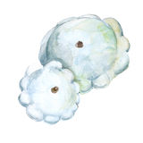 Patison. Cucurbita pepo. Isolated on a white background. Watercolor illustration. Royalty Free Stock Photography