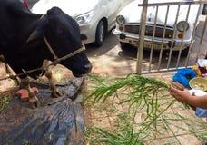 Patiti indù che alimentano una mucca che considerano una bovino-dea divina (Kamadhenu) immagine stock