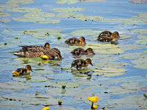 Patka sa mladuncima / Duck with baby ducks. Mam patka vodi djecu na doručak / Mother duck is taking her children for a breakfast Royalty Free Stock Photo