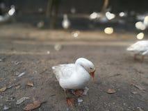 Pato Fotografía de archivo