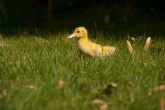 Pato Fotografia de Stock