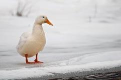 Pato Foto de archivo