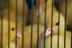 Pato Fotos de archivo