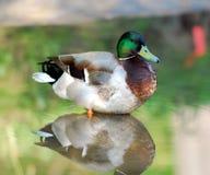 Pato Imagem de Stock Royalty Free