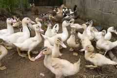 Pato Imagens de Stock