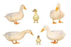 Pato Imagens de Stock Royalty Free