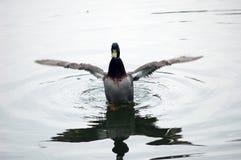 Pato Foto de archivo libre de regalías