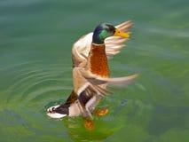 Pato Foto de Stock Royalty Free