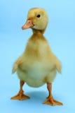 Pato Imagem de Stock