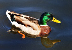 Pato Fotos de archivo libres de regalías