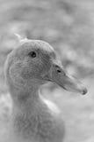 Pato Fotografía de archivo libre de regalías