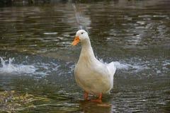 Pato Foto de Stock