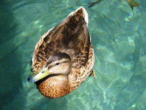 Pato Fotos de Stock Royalty Free