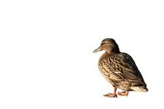 Pato. Fotografia de Stock Royalty Free