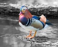 Pato Fotos de Stock